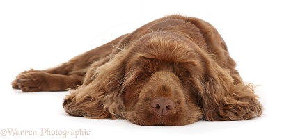 Sussex Spaniel sitting, lying with chin on the floor