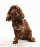 Sussex Spaniel sitting, with raised paw
