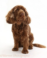 Sussex Spaniel sitting