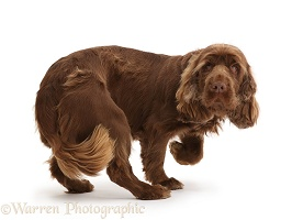 Sussex Spaniel turning
