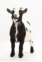 Black-and-white Pygmy Goat bleating