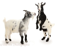 Pygmy goats, one rearing up to challenge the other