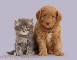 Grey Persian-cross kitten and Goldendoodle puppy