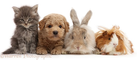 Grey kitten, Goldendoodle puppy, bunny and Guinea pig