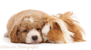 Goldendoodle puppy and Guinea pig