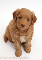 F1b Toy Goldendoodle puppy