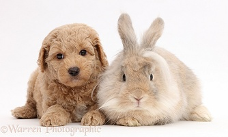 Fluffy bunny and Goldendoodle puppy