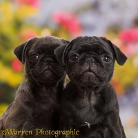 Platinum and Black Pug puppies, 10 weeks old