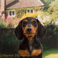 Black-and-tan Dachshund puppy portrait