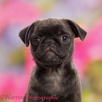Platinum Pug puppy, 10 weeks old