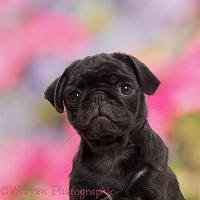 Black Pug puppy, 10 weeks old