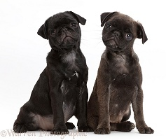 Black Pug and Platinum Pug pups sitting