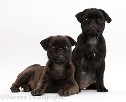 Black Pug and Platinum Pug pups