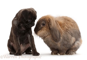 Platinum Pug puppy nose-to-nose with rabbit