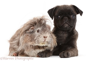 Platinum Pug puppy and Guinea pig