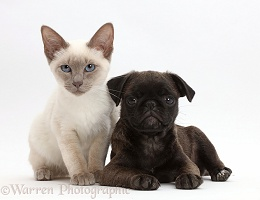 Blue-point kitten with Platinum Pug puppy