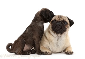 Platinum Pug puppy sniffing the ear of adult Pug