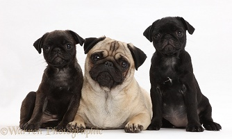 Platinum and black Pug puppies with adult Pug