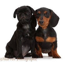 Black pug puppy and black-and-tan Dachshund