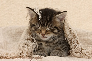 Sleepy tabby kitten, 6 weeks old, under a shawl