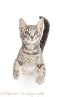 Grey tabby kitten standing and begging
