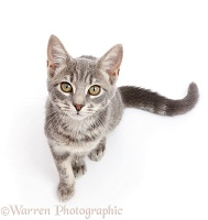 Grey tabby kitten sitting and looking up