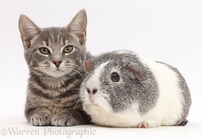 Grey tabby kitten and Guinea pig