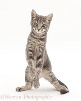 Grey tabby kitten standing up