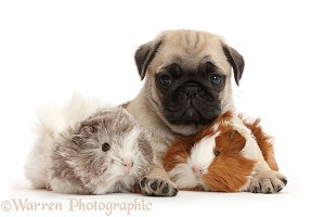 Pug pup and Guinea pigs