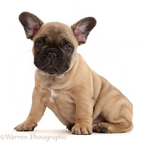 French Bulldog puppy, 7 weeks old
