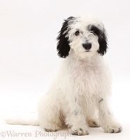 Black-and-white Cockapoo puppy