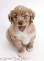 Mini American Shepherd puppy looking up and yawning