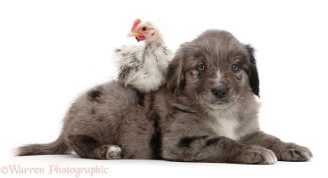 Mini American Shepherd puppy with chicken