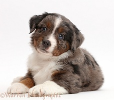 Mini American Shepherd puppy lying with head up