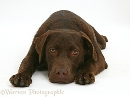 Chocolate Labrador Retriever lying with chin on the floor