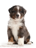 Mini American Shepherd puppy sitting
