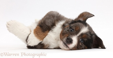 Mini American Shepherd puppy lying on its side