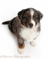 Mini American Shepherd puppy looking up