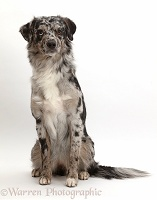 Blue merle Mini American Shepherd