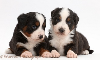 Two Mini American Shepherd puppies, 4 weeks old