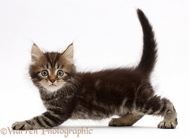 Tabby Persian-cross kitten slinking