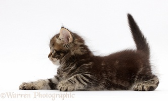 Tabby Persian-cross kitten