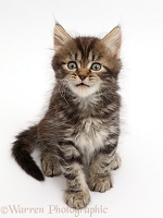 Tabby Persian-cross kitten, sitting and looking up