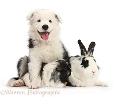 Border Collie pup with rabbit and Guinea pig