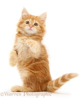 Ginger Maine Coon kitten with raised paws