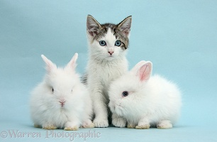 Blue-eyed Siberian-cross kitten with white bunnies