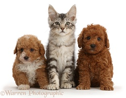 Silver tabby kitten and two Goldendoodle puppies