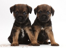 Border Terrier puppies, 5 weeks old