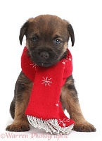 Border Terrier puppy, 5 weeks old, wearing red scarf
