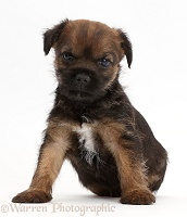 Border Terrier puppy, 5 weeks old